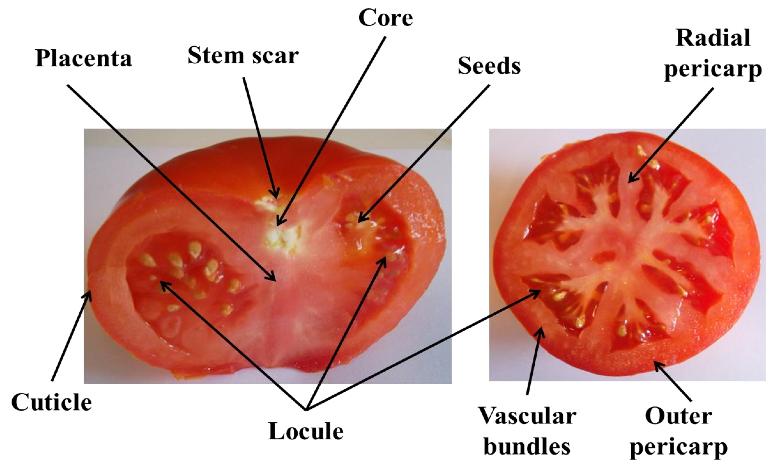 西红柿的剖面图.