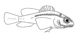 盲眼洞穴鱼示意图,画出了侧线。
