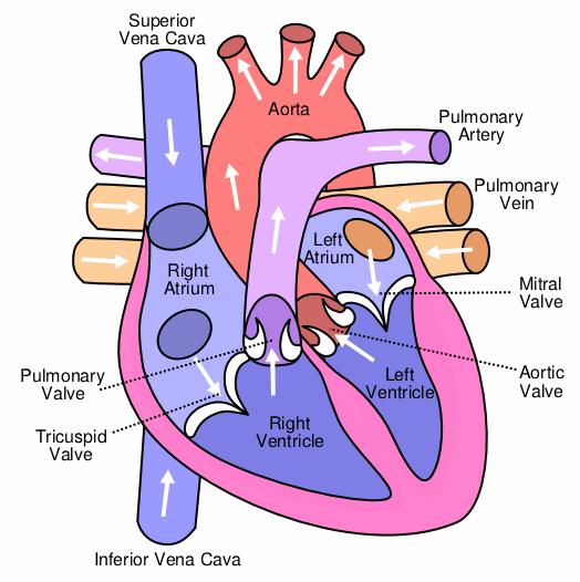 示意图显示了人体心脏的四个瓣膜。