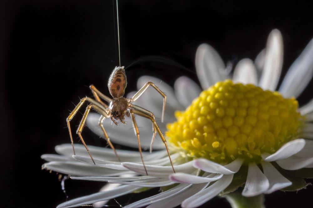 金钱蜘蛛的照片在花瓣的,蜘蛛将迅速增加。