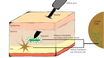 tattoo-ink-transport-processes-featured