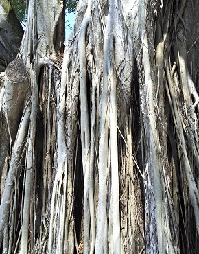 Detailed Ficus microcarpa roots, Photo attribution: Cinzia Iacovelli