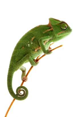 A chameleon on a twig