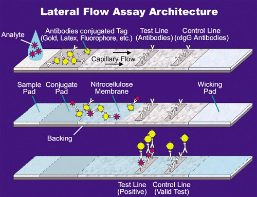The structure of a lateral flow test.