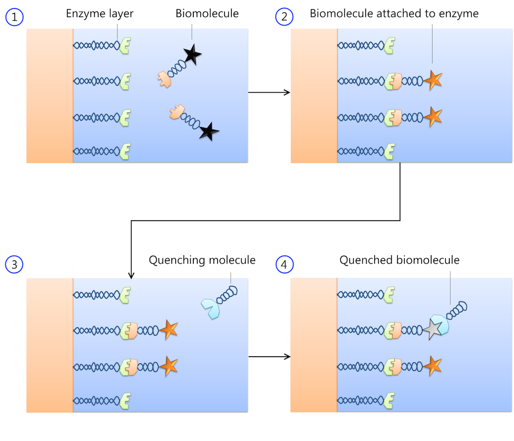 Here, four steps that occur when biomolecules interact with an enzyme layer are shown.