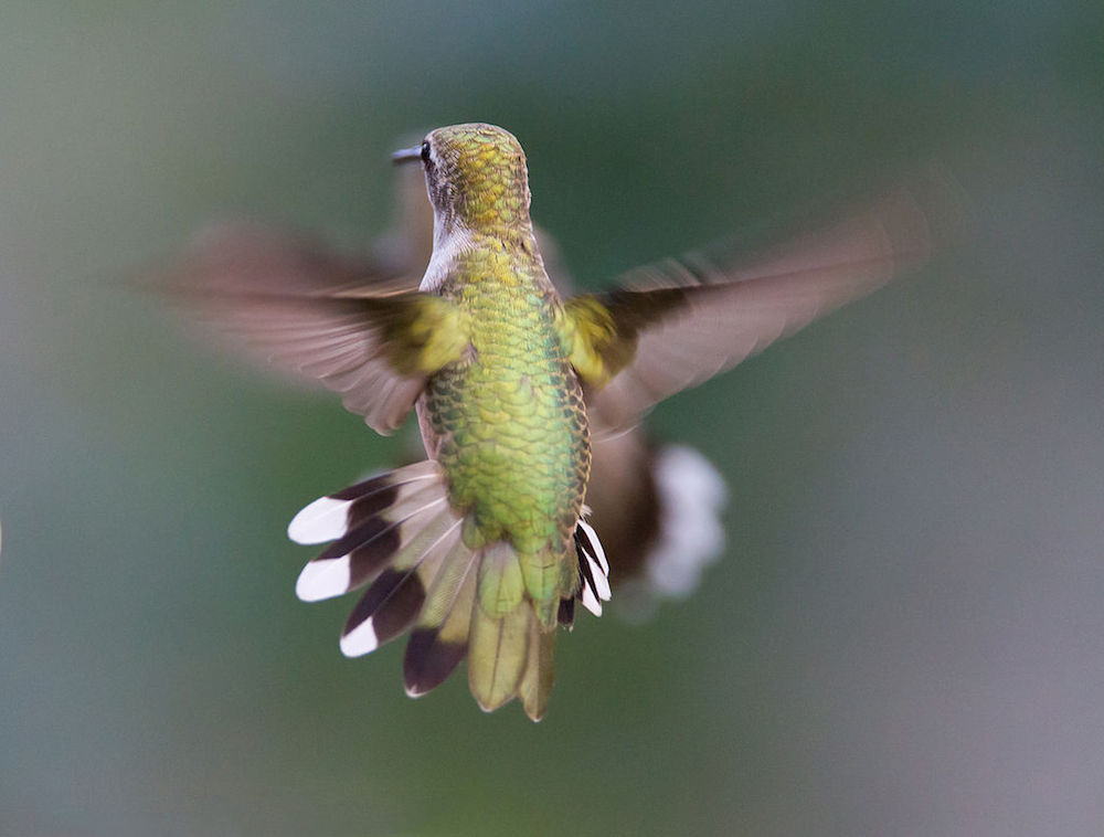 Picture showing a hummingbird in flight.