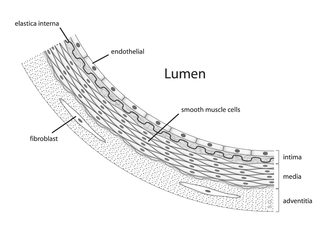 Schematic representing an artery's anatomy.