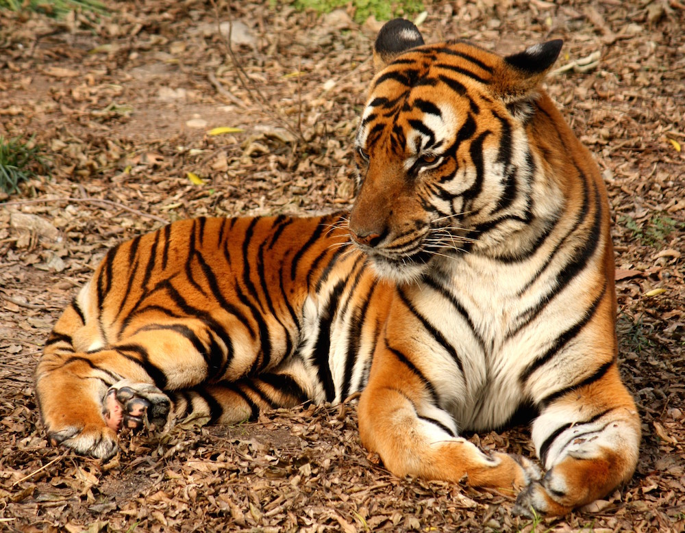 The development of stripes on a tiger, shown here, can be explained by Alan Turing's theory of morphogenesis.