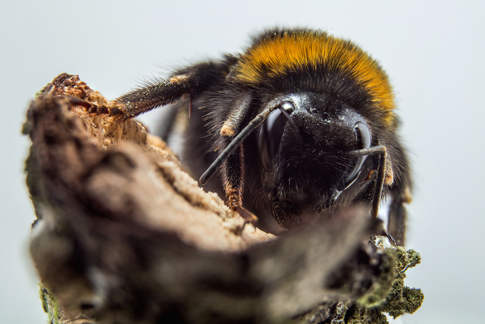 An image of a bumblebee that shows its hairs and antennae.