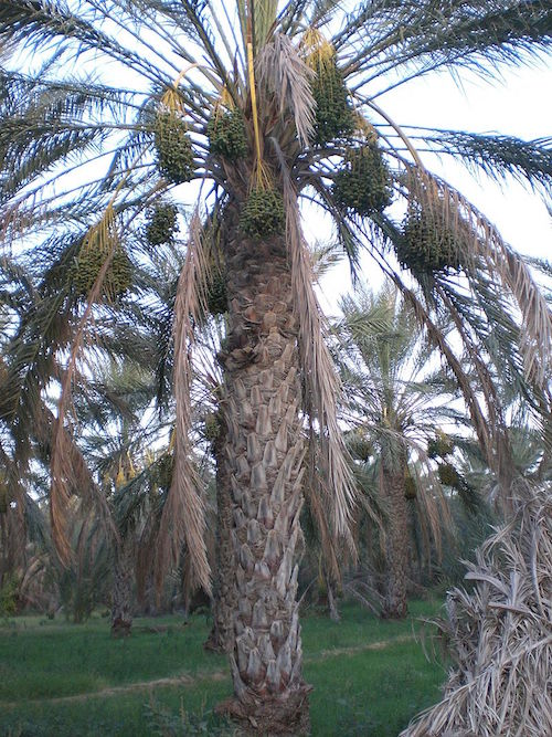 A photo of a date palm tree.