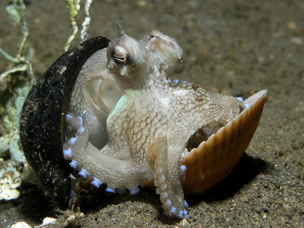 Photograph depicting an octopus hiding between two shells.