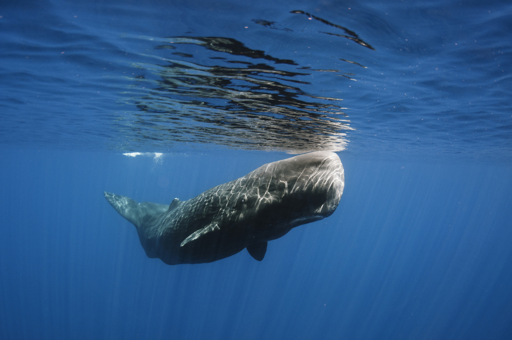 A photo illustrating sperm whale behavior.