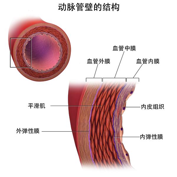 带注释的图片展示了动脉壁的结构和各组成部分。
