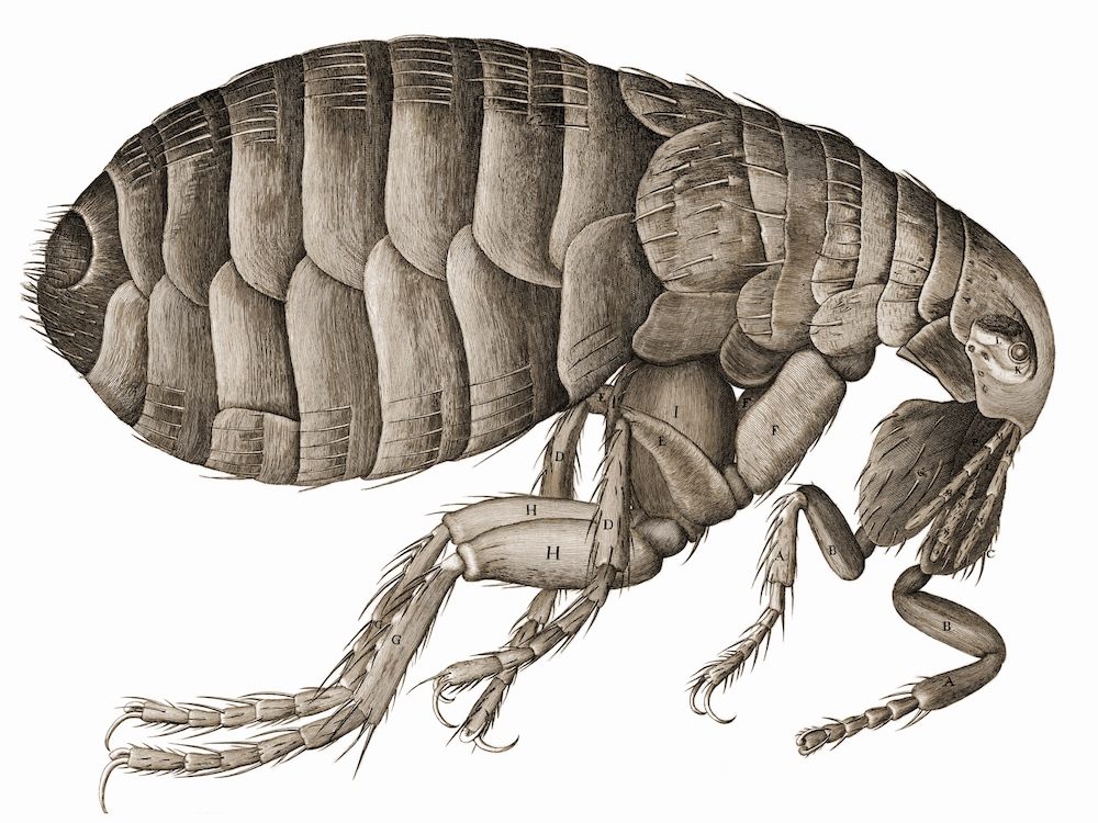 A detailed illustration of a flea drawn by Robert Hooke.