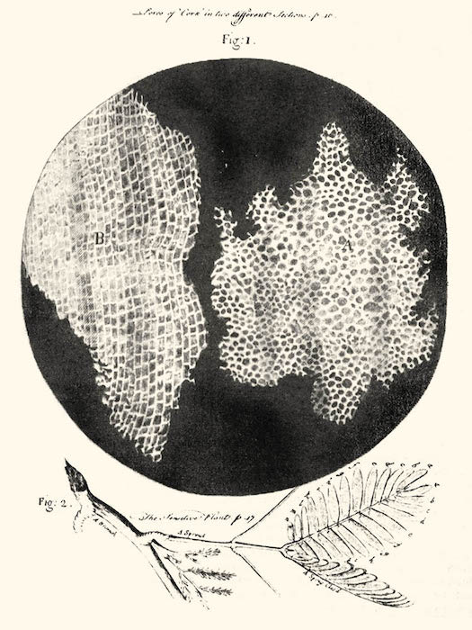 An illustrated rendition of cells from the book Micrographia by Robert Hooke.