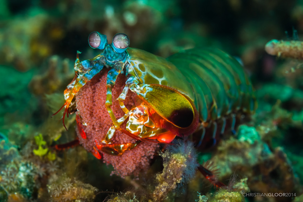 A photo of a mantis shrimp, the inspiration for a new ultrasensitive imaging system.