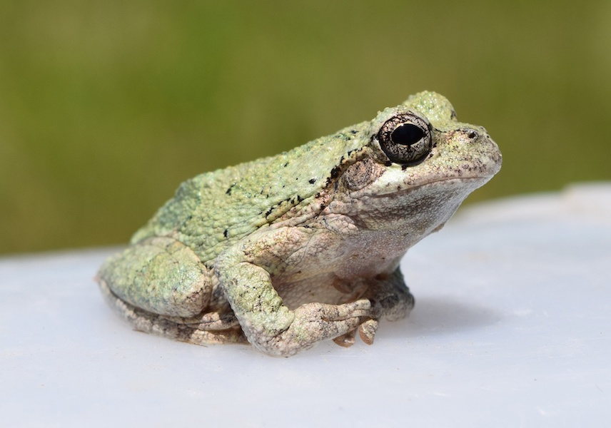 Photograph of a Cope's gray treefrog.