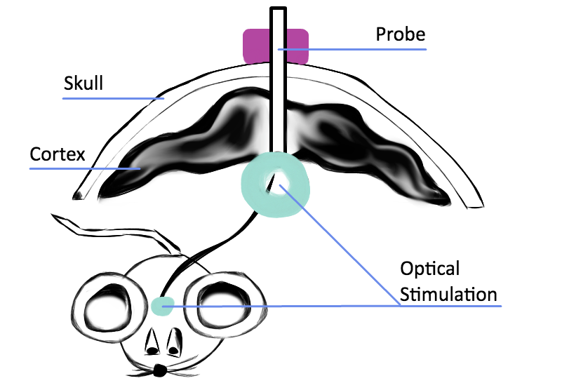 A sketch of testing optogenetics on a lab mouse for treating heart arrhythmia.