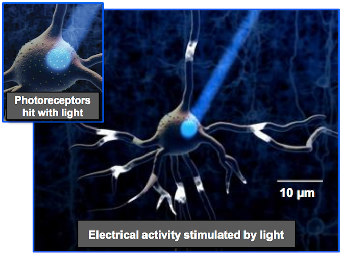 An illustration of optogenetics by S. Berry.