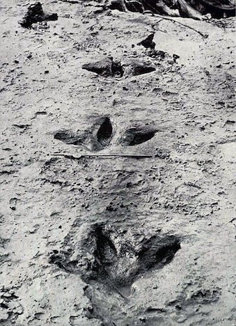 A photograph of tracks made by the extinct Moa bird.