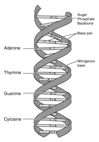 A schematic showing the helical structure of DNA.