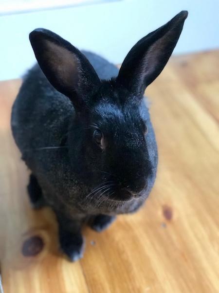 A photo of a black rabbit.
