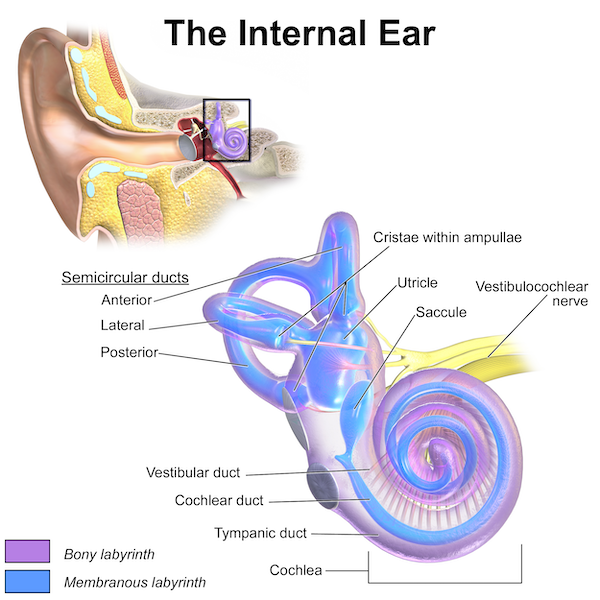 A graphic showing the anatomy of a human internal ear.