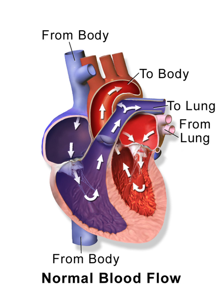 A diagram of the blood flow through a human heart.
