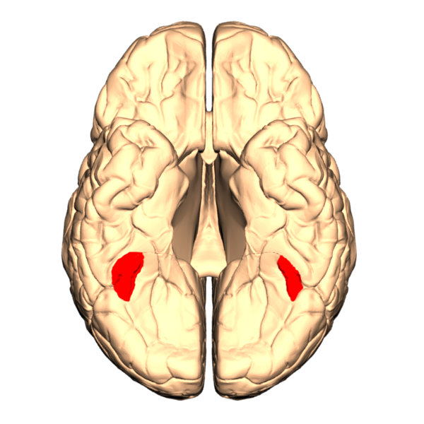 A schematic of the human brain with the fusiform face area highlighted in red.
