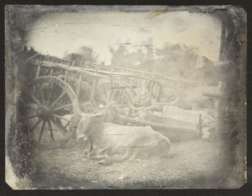 A daguerreotype photograph of a cow circa 1842.