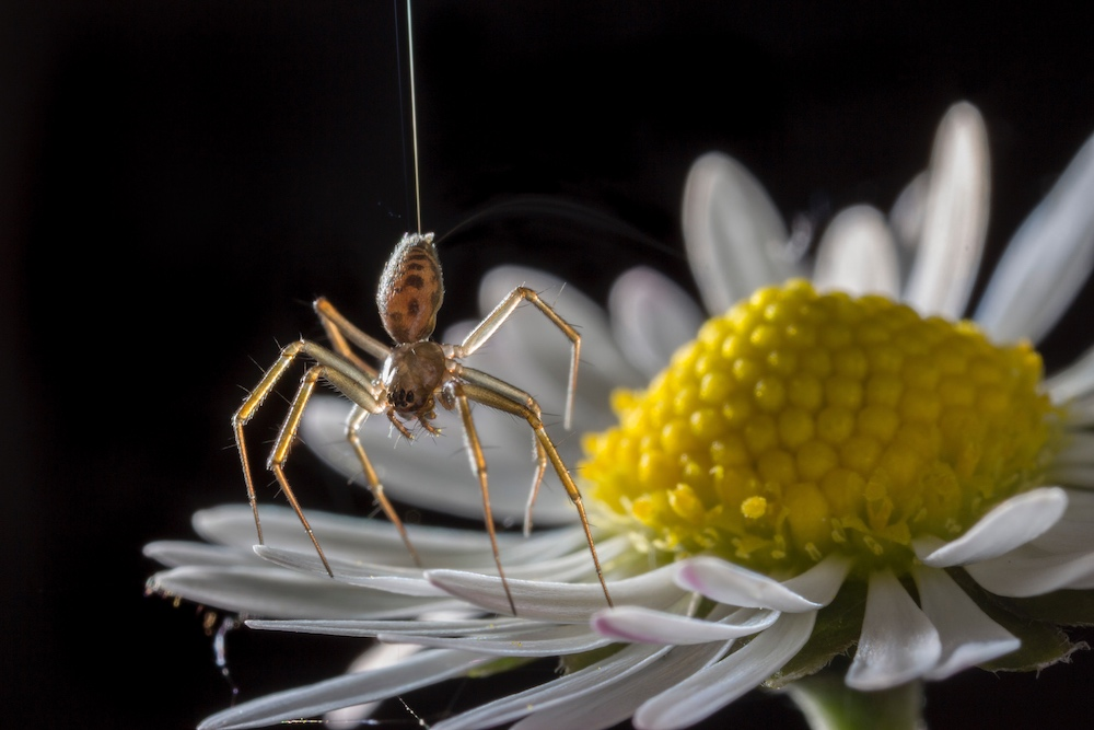 A photograph of a money spider on a flower petal as the spider is about to balloon.
