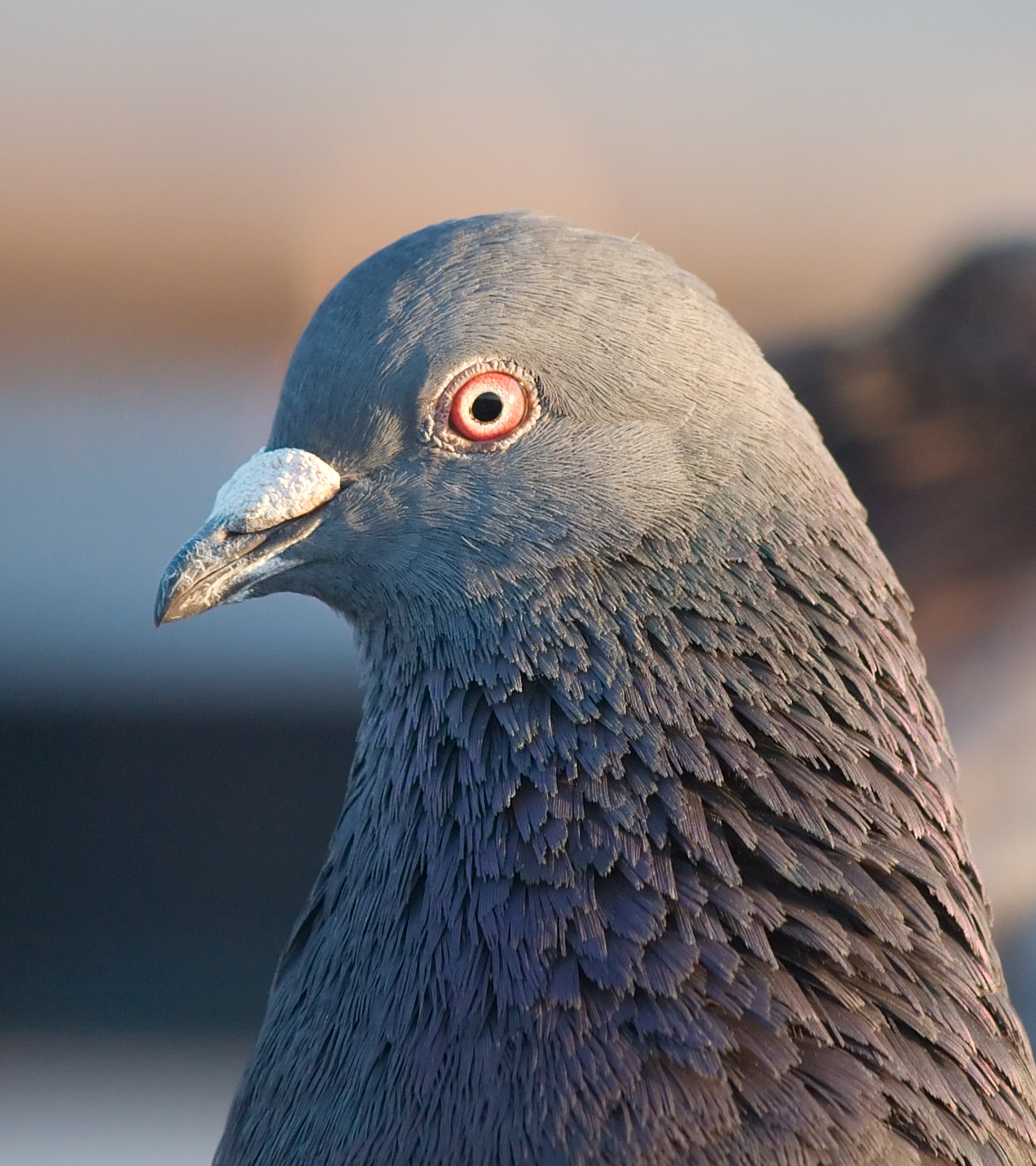 A photograph of a rock pigeon zoomed in on its head with its white operculum showing.