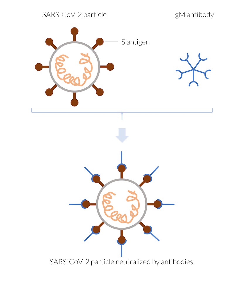 A graphic showing a single IgM antibody and SARS-CoV-2 particle, which then combine in a way that the antibody neutralizes the virus particle.