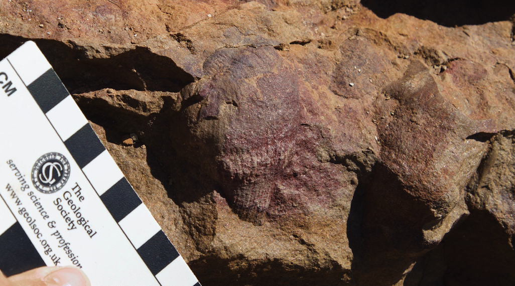 A photograph of an Ernietta fossil on a rock with a board held up to it for scale.