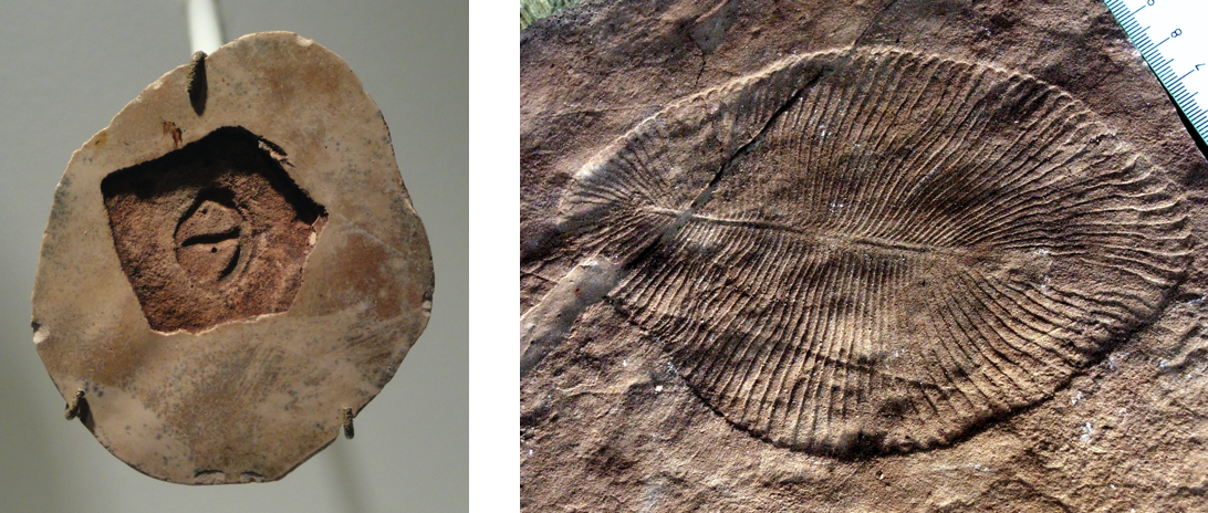An image of a Parvancorina fossil (left) and a Dickinsonia fossil (right).