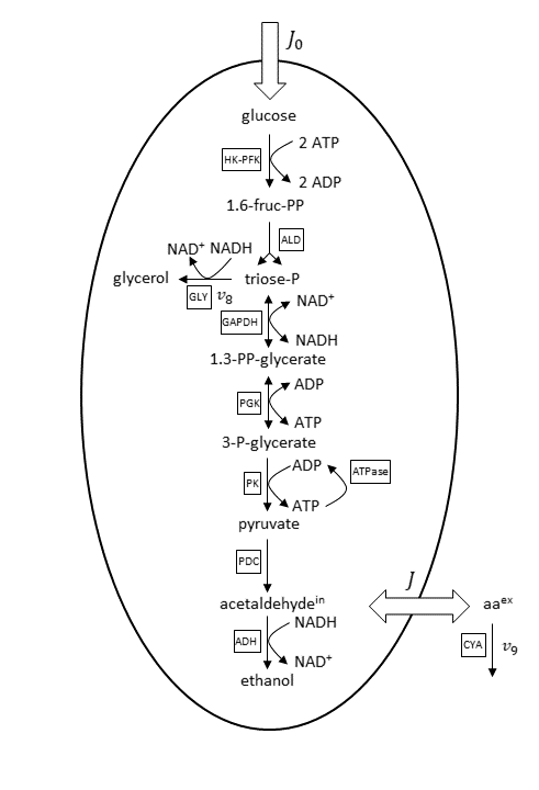 A graphic of the basis reaction scheme for the anaerobic glycolytic pathway, with abbreviations for the enzyme reactions marked in boxes.